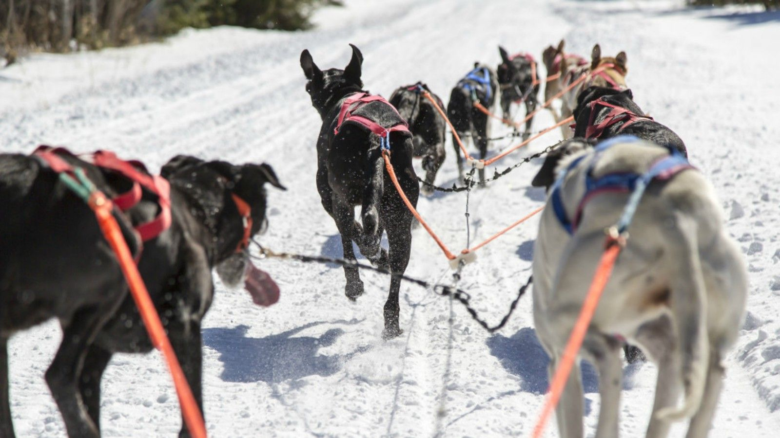 Things to do at Tremblant - Dogsledding